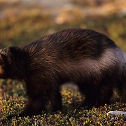 Wolverine in the foothills of the Rocky Mountains during the fall. Montana, Captive Animal