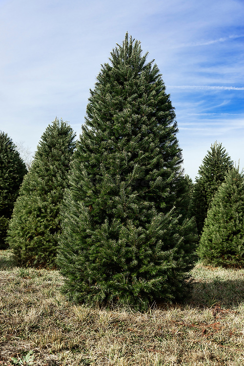 Mature Christmas trees on a cut your own farm, New Jersey, USA