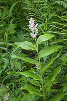 A very common sight on the lower slopes of the Cascades Mountains, the false Solomon's seal is a very common meber of the lily family. This one was photographed in the forest on the southern slope of Mount Hood in Oregon.