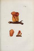 hand painted Botanical illustration of flower details leafs and plant from Miscellanea austriaca ad botanicam, chemiam, et historiam naturalem spectantia, cum figuris partim coloratis. Vol. I  by Nicolai Josephi Jacquin Published 1778. Figure 14