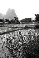 Landscape of rice fields in Yangshuo's countryside