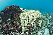 a head of lobe coral, Porites lobata, is lightly bleached during the summer 2019 marine heat wave, while the head to the left of it has been dead for years, and is eroding; Honaunau Bay, South Kona, Hawaii Island ( the Big Island ) Hawaii, USA ( Central Pacific )