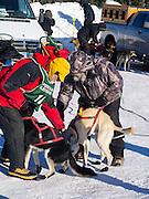 Linus Meyer (#10) of Melrose, MN, prepares for his ten-dog class sled race on Sunday, 2 Feb 2014. Scenes from the Apostle Islands Sled Dog Race, hosted by the Bayfield Chamber of Commerce, near Bayfield, WI
