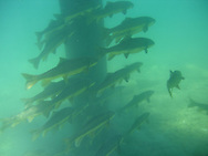 School of Largescale Suckers<br /> <br /> Todd Pearsons/Engbretson Underwater Photography