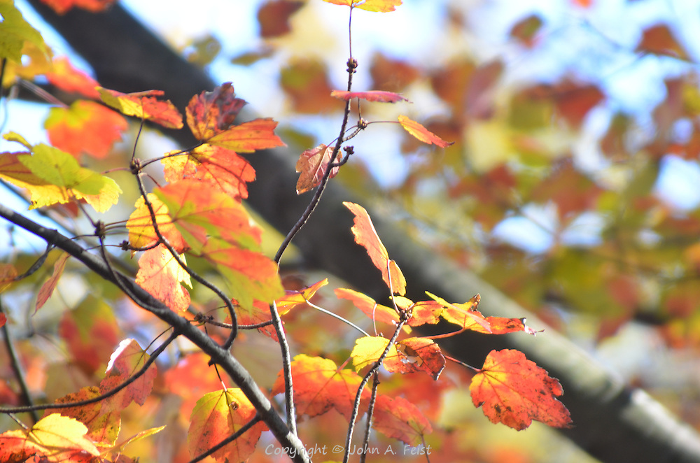The maple leaves are re and yellow and green, shining in the autumn sun.  Hillsborough, NJ