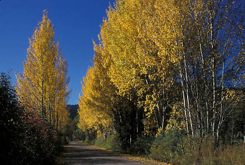 Fall, Aspen trees along side of country road Montana. (NH)