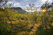 Mountain birch forest, (Betula pubescens tortuosa) Saltoluokta area, bordering to the Stora Sjöfallet National Park, Greater Laponia rewilding area, Lapland, Norrbotten, Sweden