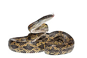 Texas Rat Snake (Elaphe obsolete lindheimeri) Texas, USA, April. Meetyourneighbours.net project.
