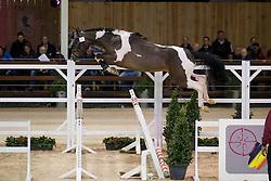 069, I'm Joking M<br /> BWP Hengsten keuring Koningshooikt 2015<br /> © Hippo Foto - Dirk Caremans<br /> 23/01/16