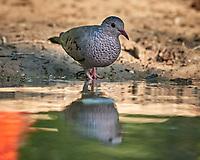 Common Ground Dove (Columbina passerina). Campos Viejos, Texas. Image taken with a Nikon D800 camera and 400 mm f/2.8 lens.