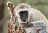 Black-faced Vervet Monkey, Chlorocebus pygerythrus, in Tarangire National Park, Tanzania