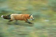 Red fox running, blur-pan style, Idaho, © David A. Ponton
