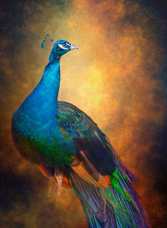 What should a photographer do during quarantine and a peacock is loose in the neighborhood? Well, click the shutter of coarse!
