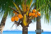 Falling coconut sign, Taveuni, Fiji