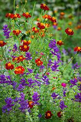 Terracotta pots in the Oast garden. Salvia viridis 'Blue' with Tagetes linnaeus (Marigold)