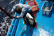 Clubbing to death an adult yellow fin tuna on the blue deck of a traditional dhoni fishing boat on the Indian Ocean, Maldives