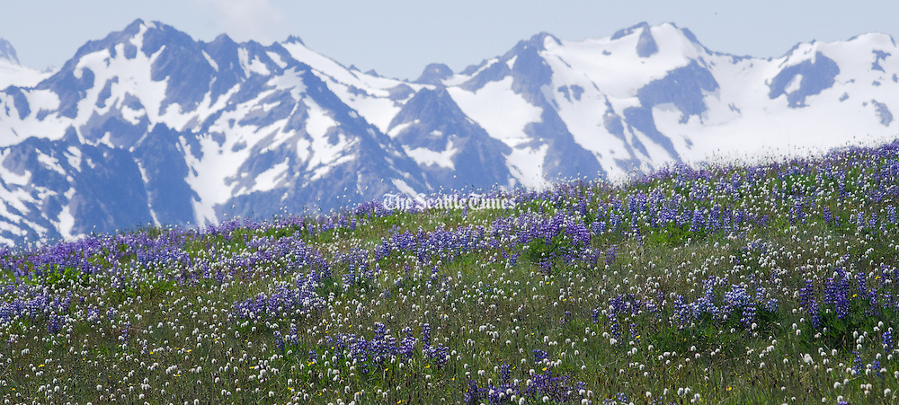 The meadows of Hurricane Ridge bloom with purple lupin and white bistort Sunday, July 29, 2012, in Olympic National Park, Wash. (Aaron Lavinsky / The Seattle Times)