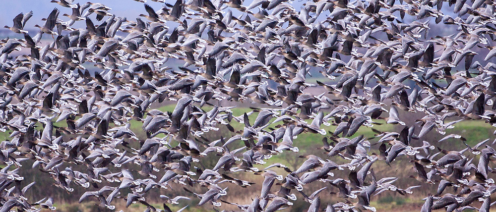 Migrating Pink-Footed geese over-wintering at Holkham, North Norfolk coast, East Anglia, England - RESERVED USE