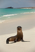 A young Galapagos sea lion (Zalophus californianus) on the beach of Espanola Island, Galapagos Archipelago - Ecuador.