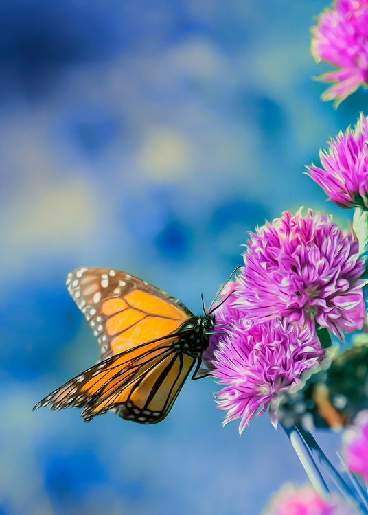 A flowing Monarch perched on a vibrant chive against a soft blue backdrop. The Monarch butterfly is a milkweed butterfly, in the family Nymphalidae. It is perhaps the best known of all North American butterflies