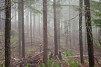 A thinned coniferous forest of Noble Fir, Silver Fir, and Western Hemlock of the Tahoma State Forest soaks in a foggy rainy morning. Cascade Mountain Range, Washington state, USA