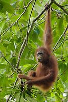 "Bornean Orangutan - ""wurmbii"" subspecies<br />(Pongo pygmaeus wurmbii)<br /><br />Young adult female ""Walima"" feeding on flowers of a Madhuca tree.<br /><br />Cabang Panti Research Station<br />Gunung Palung National Park<br />West Kalimantan, Indonesia<br />Borneo Island"