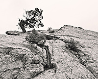 A tree growing through the rock at Arches National Park
