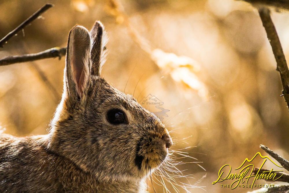 Cottontail Rabbit, Market Like Wildlife Refuge, Roberts Idaho
