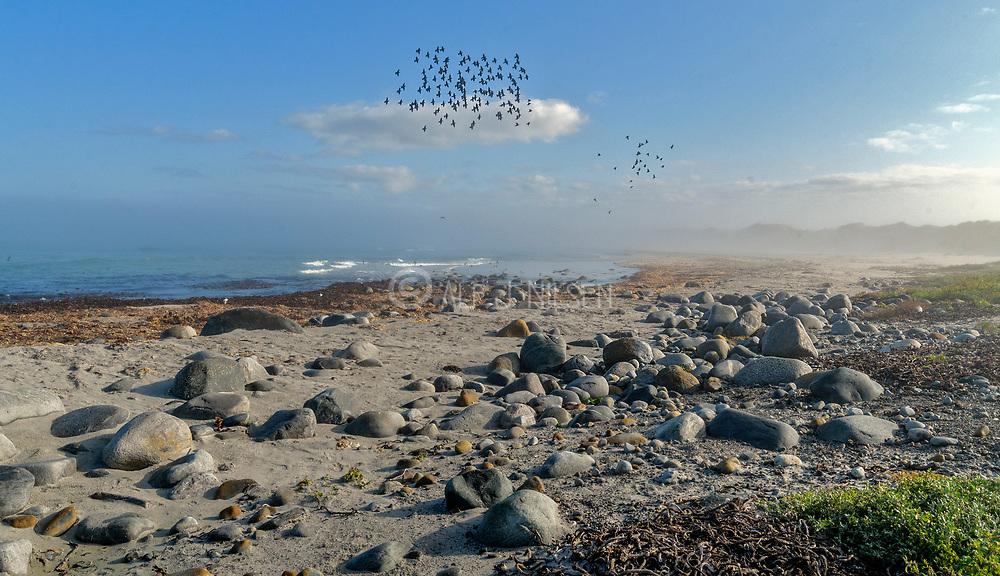 A flock of common starlings (Sturnus vulgaris) flying at Revtangen (Rogaland, western Norway) in September.
