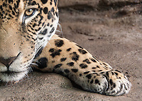 A male Bolivian jaguar (Panthera onca) resting his head on his front leg. Photographed in captivity.