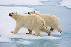 Two Polar Bear (Ursus maritimus) cubs in the drifting ice in Spitsbergen, Svalbard
