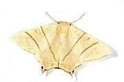 Swallow Tailed Moth Ourapteryx sambucaria, UK, largest Geometrids, white background, cut out, cutout