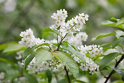 Bird Cherry. Prunus padus
