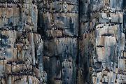 Alkefjellet cliffs full of breeding Brunnich's guillemots, Uria lomvia.