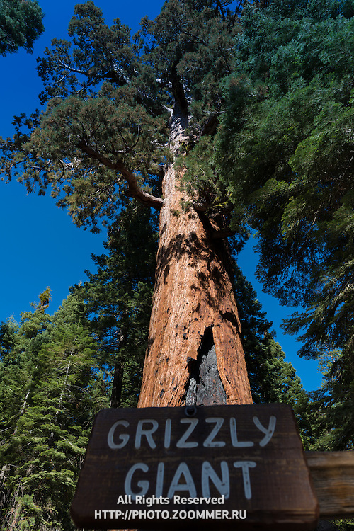 The Grizzly Giant Sequoia in Yosemite National Park's Mariposa Grove, California