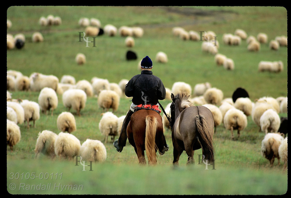 Horseman rides rear guard in fall roundup as cottony sheep fill a mountain pasture; Klaustur. Iceland
