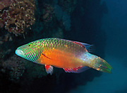 Bandcheek wrasse, Oxycheilinus digramma, on coral reef, in the Red Sea at Marsa Alam, Egypt