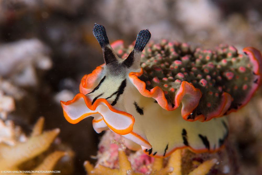 A beautifully colored Dermatobranchus ornatus nudibranch moves across the corals of a reef in Indonesia.
