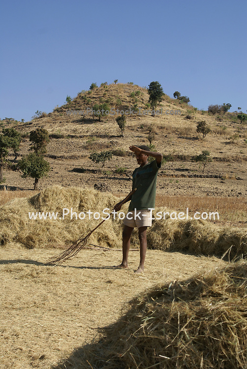 Africa, Ethiopia, Konso a crude wooden pitchfork for threshing teff