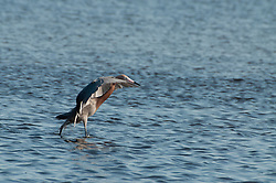 Reddish Egret (Reddish Egret (Egretta rufescens), Merritt Island National Wildlife Refuge, Titusville, Florida, US