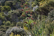 Tui attached to flowering red flax, Tāwharanui Regional Park of Auckland, with orange pollen on the forehead.