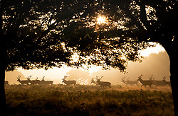 © Licensed to London News Pictures. 08/09/2021. London, UK. Deer make their way through bracken at dawn in Richmond Park in south west London. A third day of high temperatures is expected in parts of the United Kingdom. Photo credit: Peter Macdiarmid/LNP