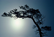 Wind-sculpted white pine, Pinus strobus, at entrance of Cranberry Bay, Rainy Lake, Voyageurs National Park, Minnesota.