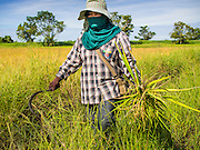 08 SEPTEMBER 2014 - BANG BAN, PHRA NAKHON SI AYUTTHAYA, THAILAND:  A farm worker walks through a rice field during the harvest in Ban Bang, Phra Nakhon Si Ayutthaya province. Rice farmers in central Thailand are harvesting their rice crop. The race is on to get the rice harvested before the Chao Phraya River and its tributaries start their cycle of annual floods. Although the central plains have gotten less rain than normal, communities in northern Thailand are experiencing a heavy monsoon and flood gates upriver of the central plains have been opened. The flood waters are expected to reach Phra Nakhon Si Ayutthaya province by the middle of September. This year's rice crop is expected to be lower than last year's because many farmers planted less rice because the government subsidy program ended.     PHOTO BY JACK KURTZ