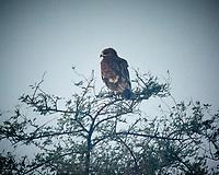 Indian Spotted Eagle. Bharatpur-- Keoladeo Ghana National Park, Rajasthan, India. Image taken with a Nikon 1 V3 camera and 70-300 mm VR lens.