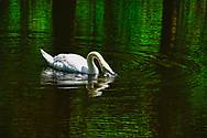 White Swan blowing bubbles