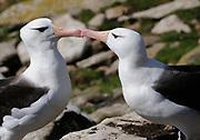 A pair of  black-browed albatross (Thalassarche melanophris) exhibit courting  behaviour at their nest. Saunders Island, Falkland Islands. 15Feb16