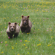 Two grzzly bear cubs in a field of wildflowers, Montana. Captive Animal