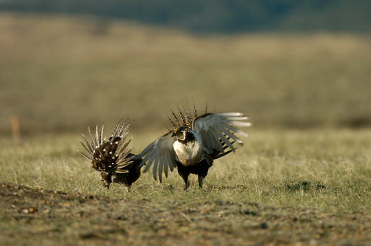 Sage Grouse (Centrocercus urophasianus) Two males in courting display fighting over females. Charles M. Russell National Wildlife Refuge. Montana.