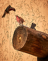 House Finch. Page, Arizona. Image taken with a Nikon D300 camera and 18-200 mm lens.